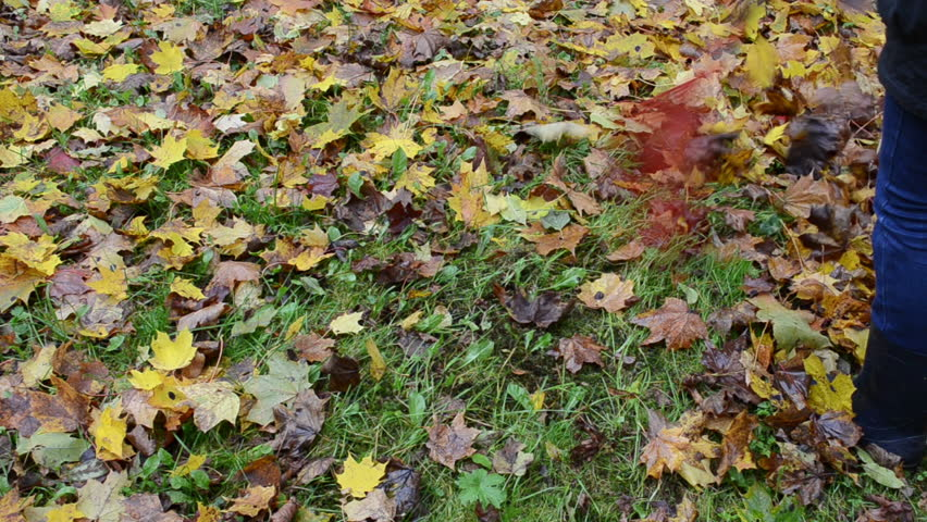 closeup of woman in rake colorful autumn maple tree leaves with raker.