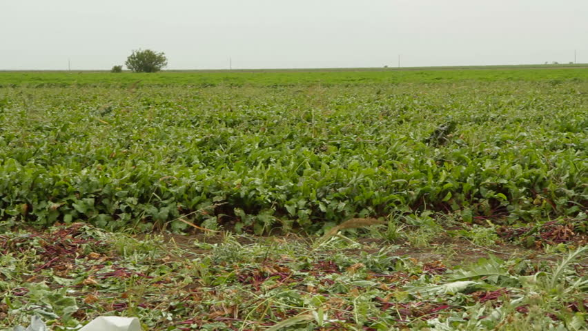Panoramic shot: field of beet and sacks full of beetroot. - HD stock video clip