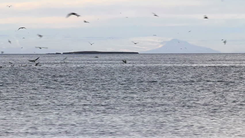 Orcas (Killer Whales) in a mountain surrounded fjord of western Iceland