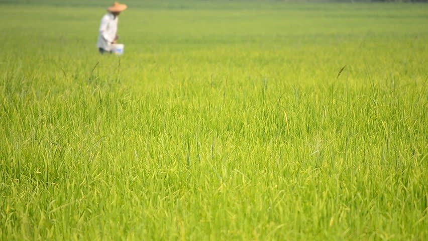rice farm and farmer scatter fertilizer for plants