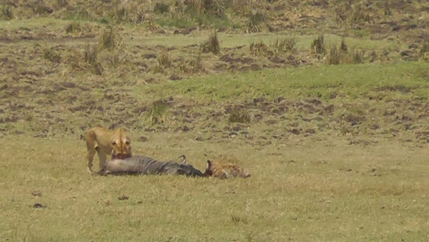 a lion pride eat at a kill as a female lioness walks away