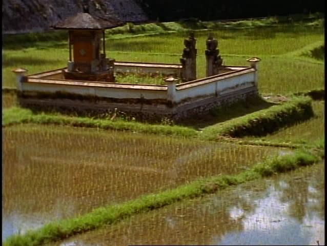 Bali, rice fields in jungle, lush, green, palms, small temple