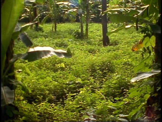 Bali tropical jungle, green, lush rainforest wide shot, tilt up