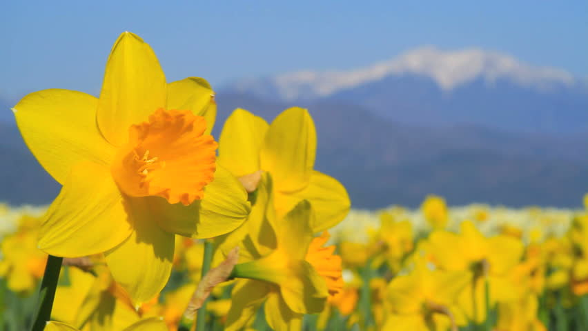 Closeup of narcissus flowers with mountains in background.