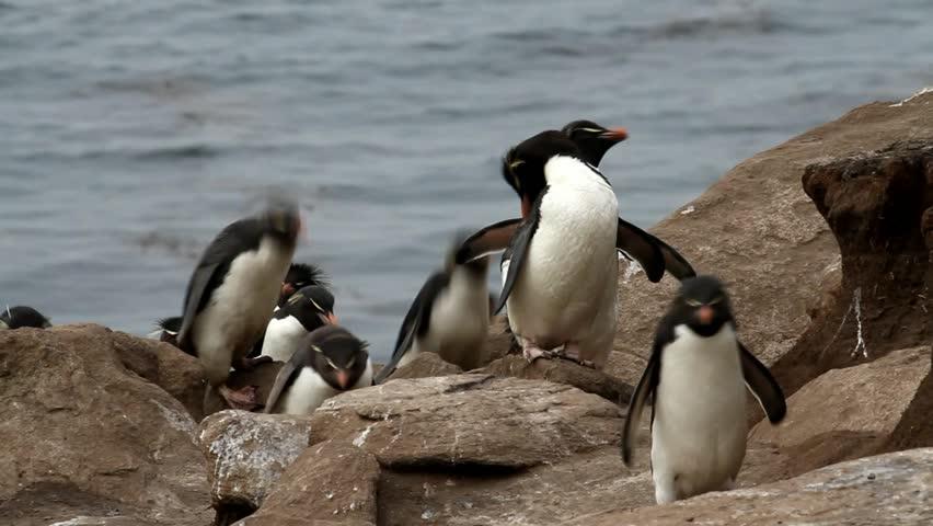 Rockhopper penguins walking uphill - HD stock footage clip