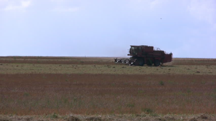 Harvester in field pea. Summer. Heat. Dry stubble. Low flying birds - HD stock video clip