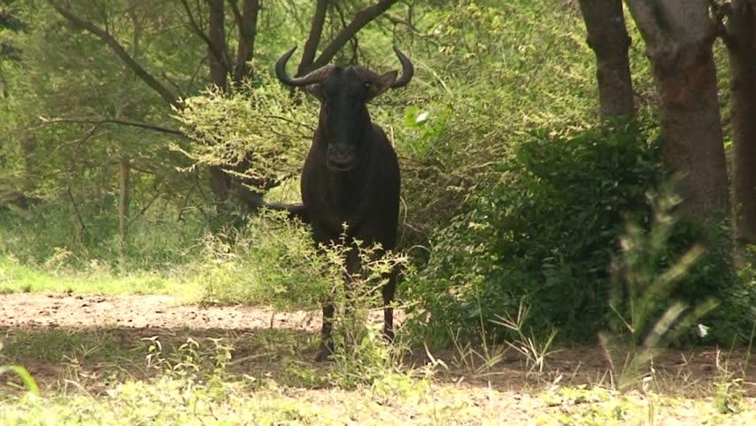 Malawi: blue devil in a wild 4  - HD stock footage clip