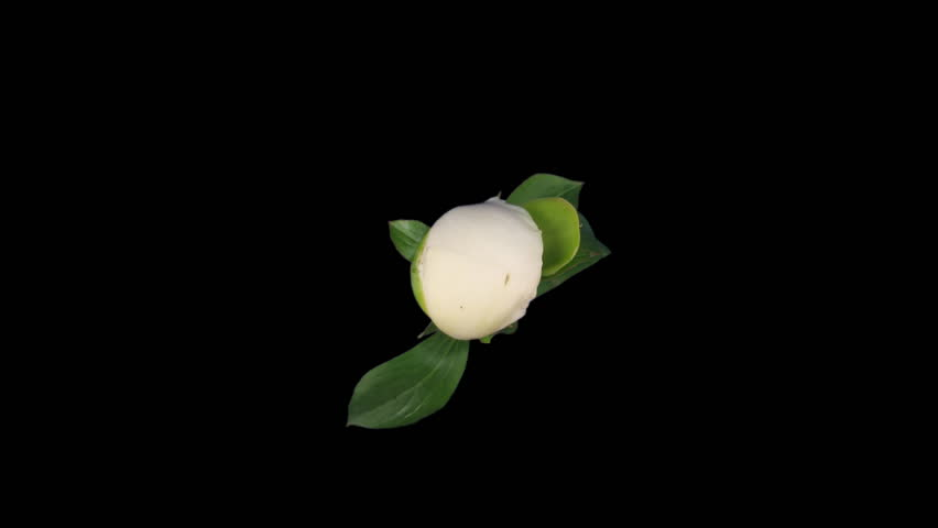 Time-lapse of opening white peony 1 isolated on black top