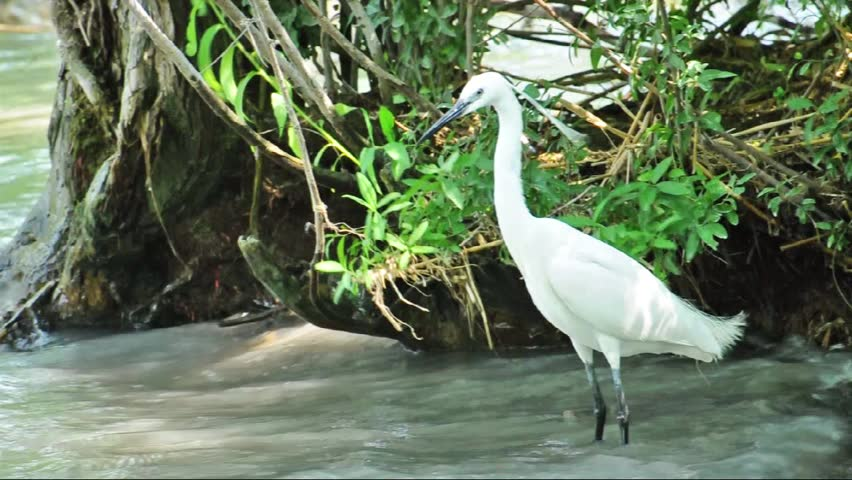 Little Egret is hunting (Egretta garzetta) at Lake Balaton - HD stock video clip