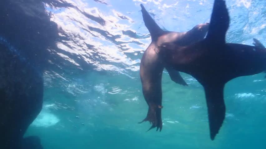 Californian sea lion in cabo pulmo national park, mexico. - HD stock video clip