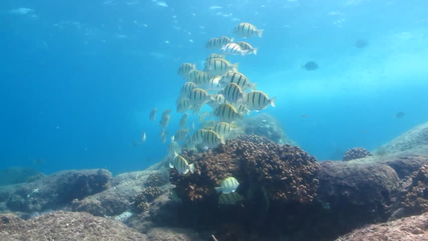 school of convict tang from Cabo pulmo national park - HD stock footage clip