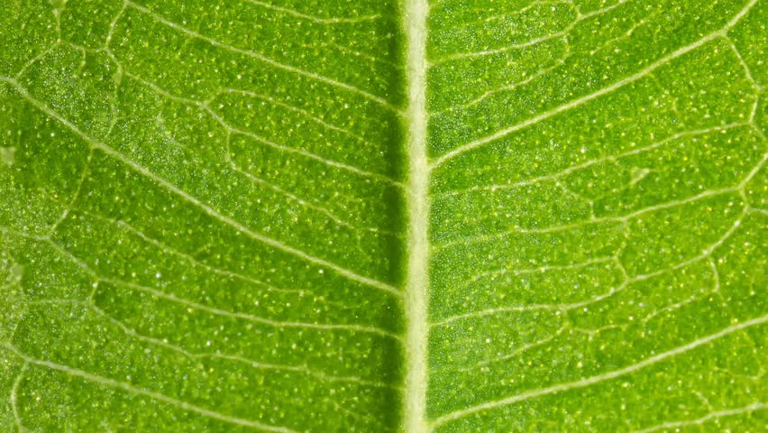 Leaf detail - two sided