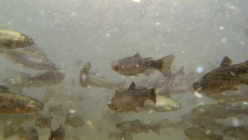 Young trouts in a pool struggling for food stock footage for Illinois fish farms