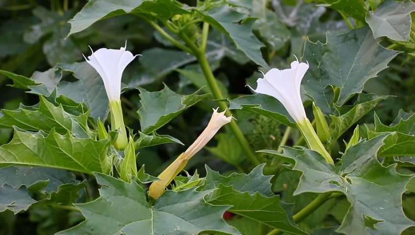 White Datura Flowers