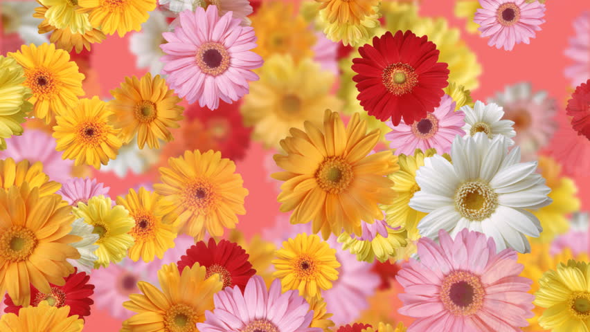 Gerbera flower backgrounds
