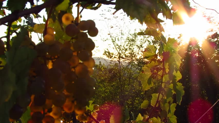White grapes in vineyard - HD stock video clip