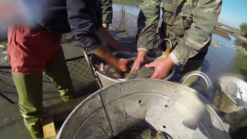 Fishermen Sorting Fishes. Harvesting fish at fish farm. Fishing Industry. Carp Fish. - HD stock video clip