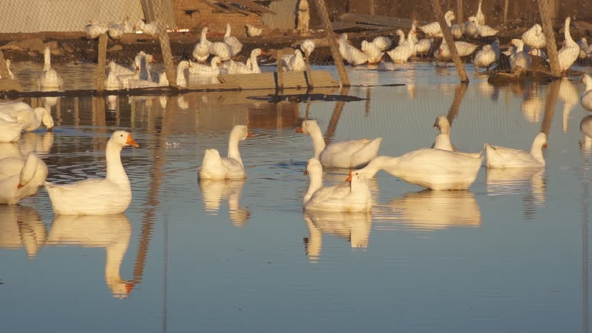 Heihe gooses (09). White gooses on a farm on the outskirts of the Chinese border city of Heihe (Heilongjiang Province, China). The evening of the autumn day of October 16,  - HD stock footage clip
