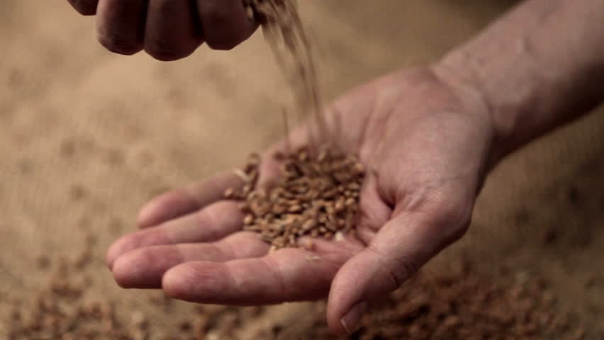 Interior close up shot  of adult man hands holding wheat grain in warm light on a jute canvas