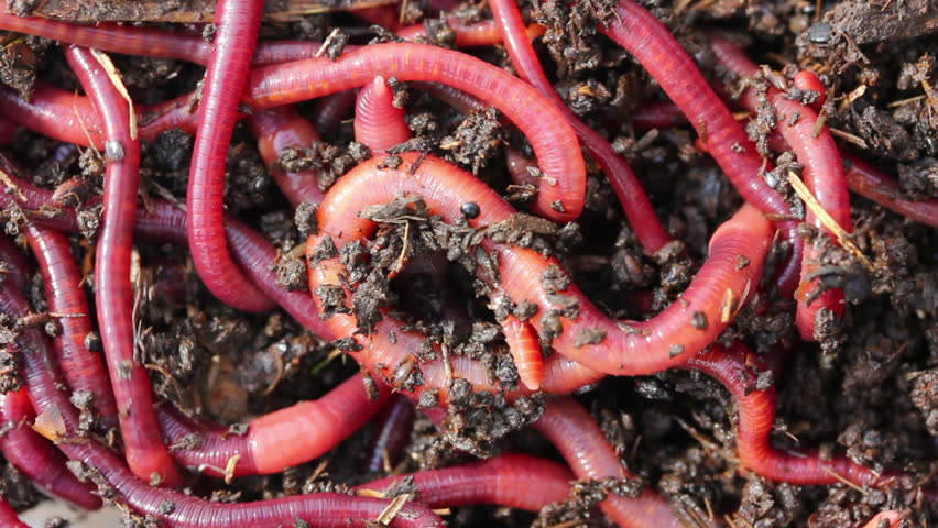 Many red worms in dirt bait for fishing stock footage for Red worms for fishing
