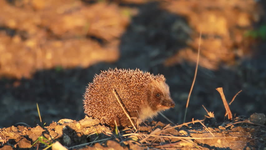Hedgehog - HD stock footage clip