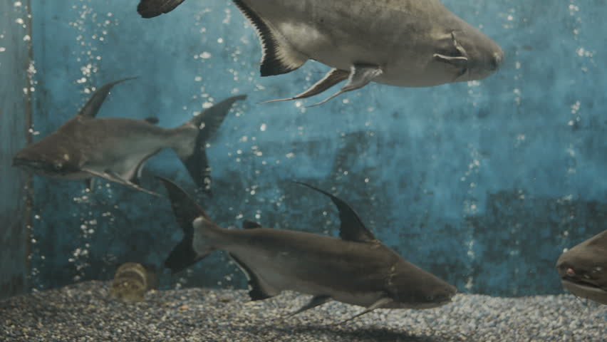 Sharks swimming in fish tank shot with red camera hd for Fish swimming video