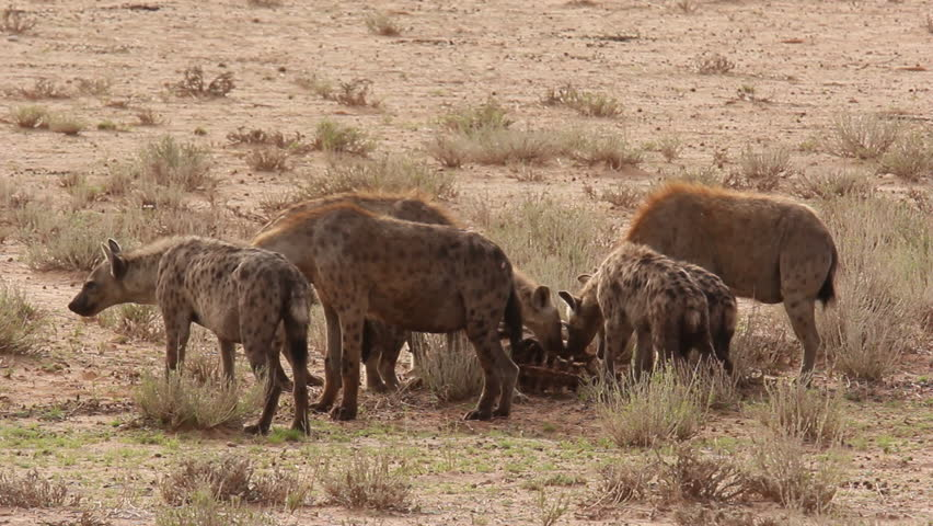 Hyena Offspring pack of spotted hyenas...