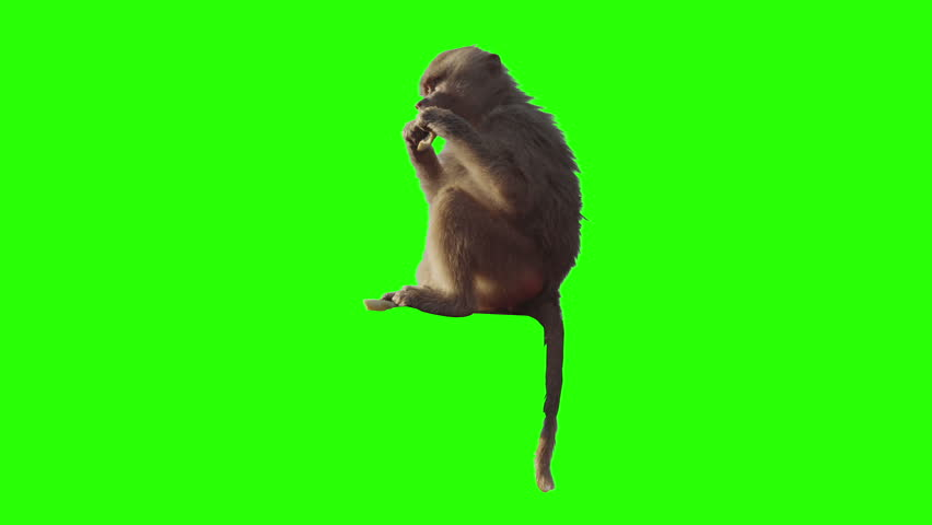 Monkey eating fruit in front of green screen. Shot with red camera. Ready to be keyed. - HD stock video clip