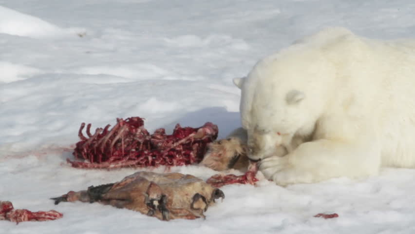 Polar bear biting at the last remnants of a flipper with stripped seal skeleton and fur beside it.