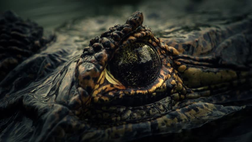 Alligator´s eye (super slow motion) - HD stock video clip