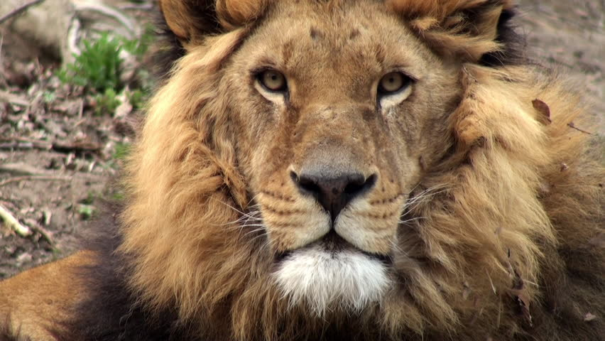 sequence with lions, apple prorez 422 - HD stock footage clip