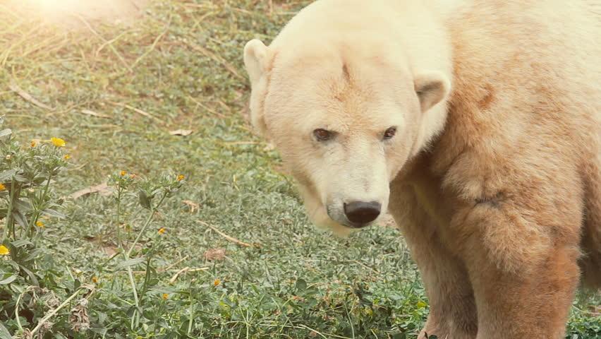 Polar Bear grazing on grass in the blazing sun - Habitat loss