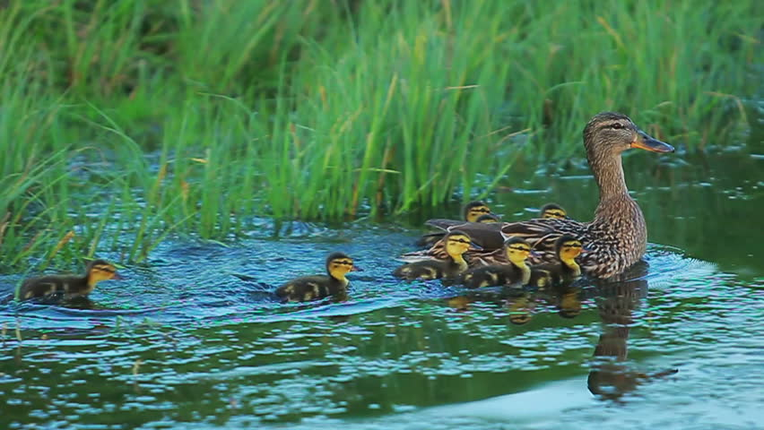 Cute little ducks playing on water lake duck dive on for Duck pond water