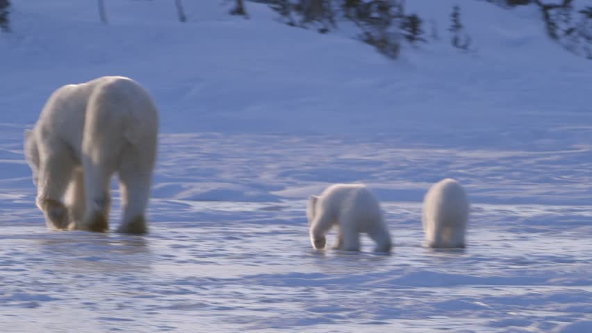 A pair of polar bear cubs walking in the arctic with their mother.