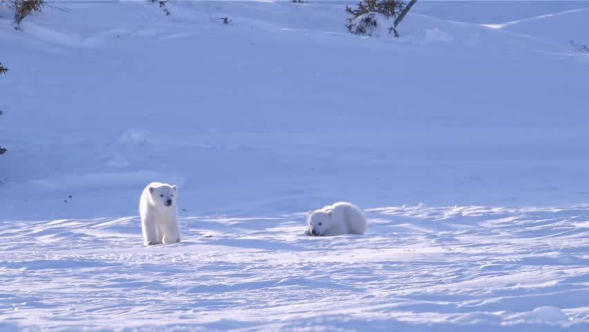 Polar bear cubs sliding and pouncing on the snow.