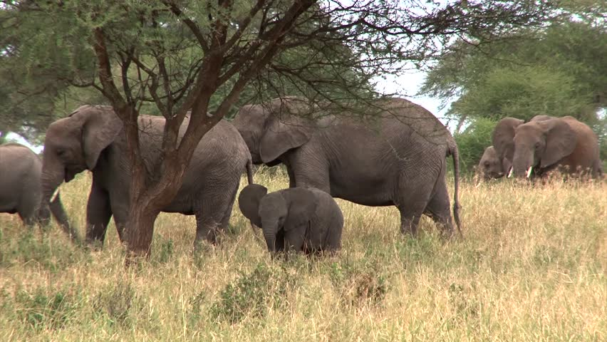 Baby elephant standing among adults swings his trunk trying to get food into his mouth