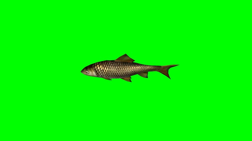 carp fish swimming fast - seperated on green screen - HD stock footage clip
