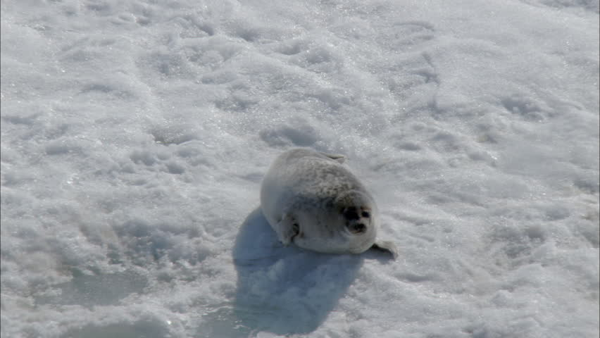 related pictures seal arctic - photo #33