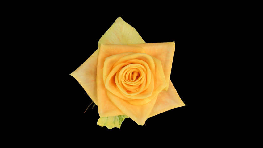 """Time-lapse of opening yellow """"Prairie"""" rose 3a in .PNG+ format with alpha transparency channel isolated on black background, top view"""