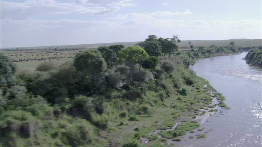 Wildebeest Savanna River Migration. A scenic view travels over a herd of wildebeest in Africa. The scene captures the powerful creatures running through the savannas of the region.  - HD stock footage clip