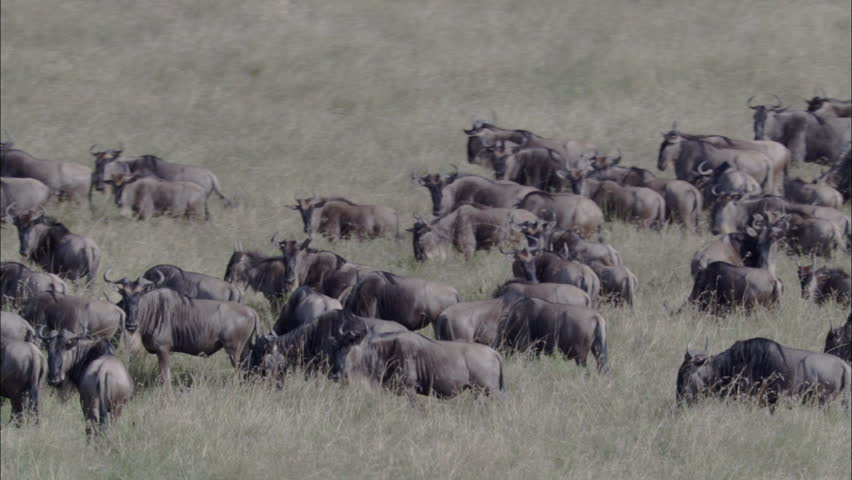 Zebra Wildebeest Herd Migration. A skying look over a large herd of wildebeest. The shot captures the herd migrating through the savannas of Africa. Zebras also graze the pasture along with the herd. - HD stock video clip