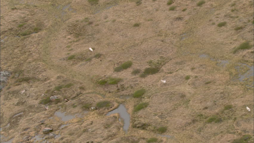 White Arctic Wolves Hunting Caribou. An epic shot captures a white arctic wolf chasing down a herd of caribou. The pursuit ensues as the caribou scatter.