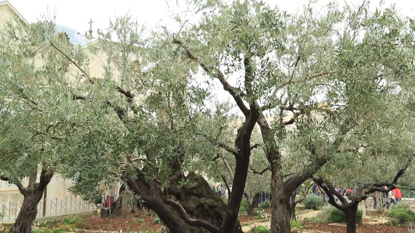Pan shot of ancient oiive trees in the garden of for Age olive trees garden gethsemane