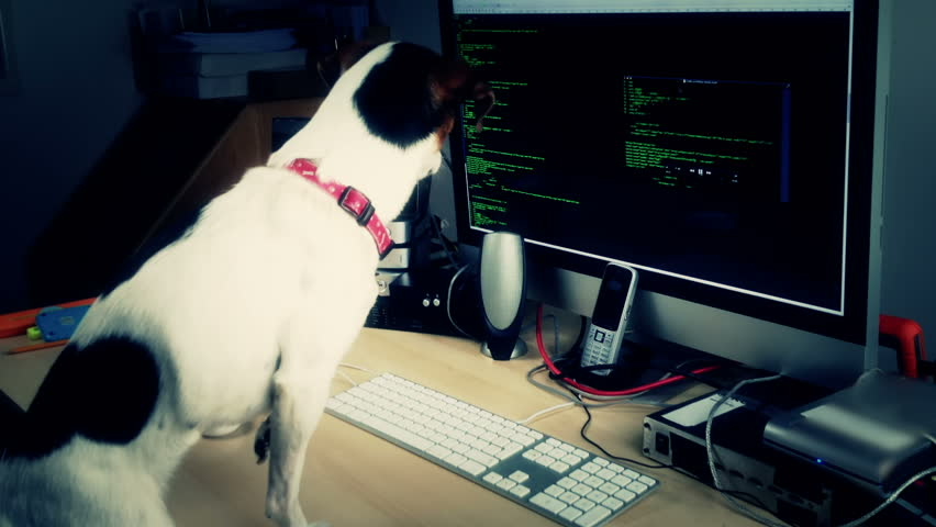 A cyber addicted Jack Russell dog watching the code on a computer.