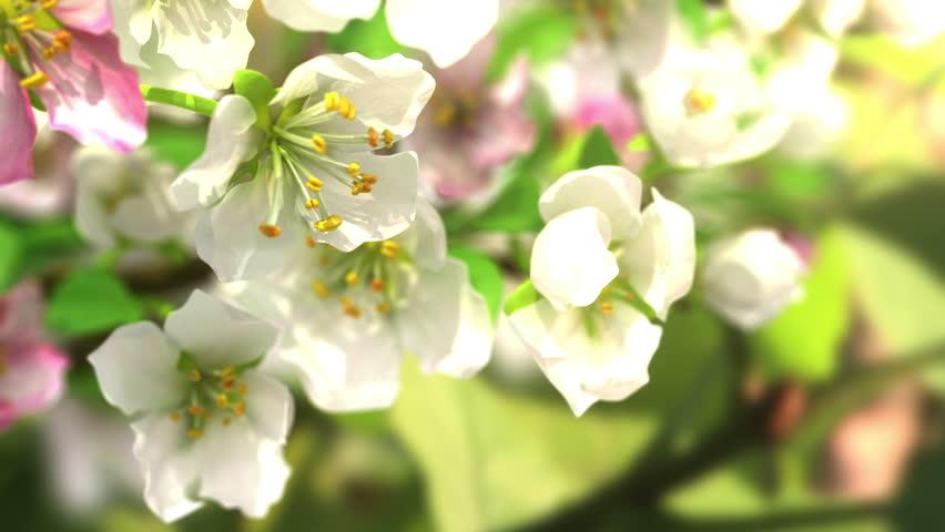 4k blossoming apple-tree, beautiful 3d animation.