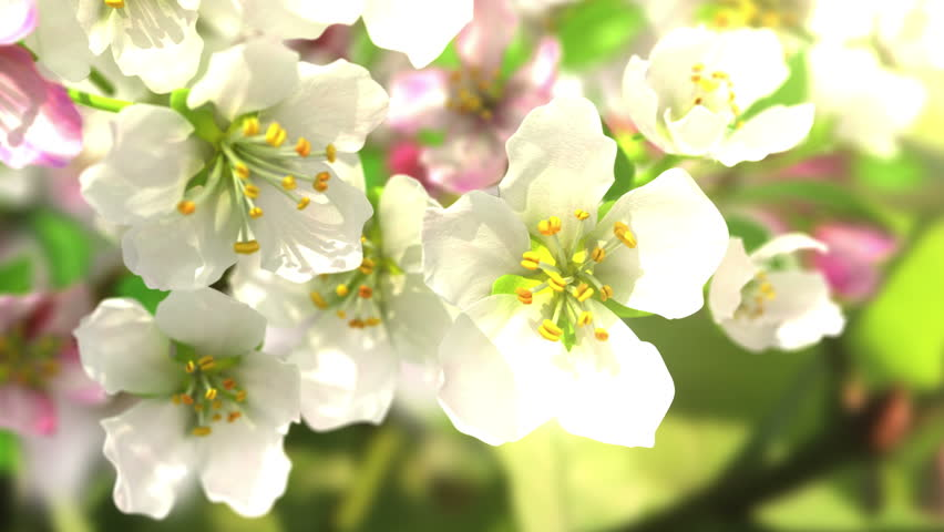 4k blossoming apple-tree, beautiful 3d animation. see also the new corrected version with butterflies ClipID 9191579 - 4K stock footage clip