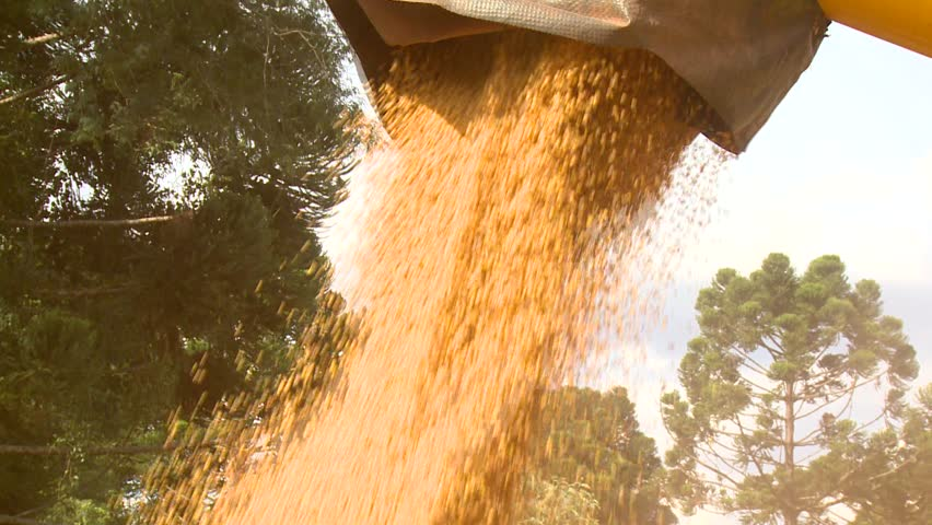 harvested soybeans falling from harvester machine