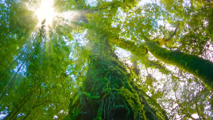 Video 1920x1080 - The trees in the humid tropical forest covered with moss
