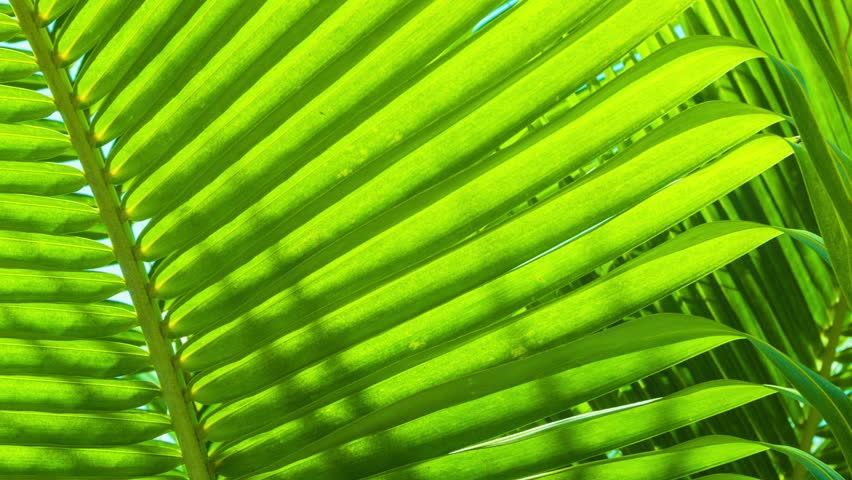 Video 1920x1080 - palm leaves close-up. Tropical abstract background