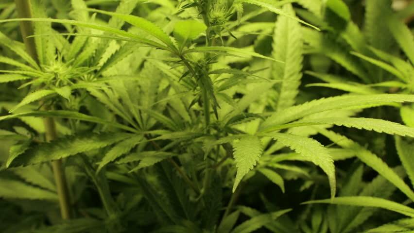 close up pan through a field of marijuana plants